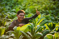Thailand farmers are checking the quality of tobacco royalty free stock photography