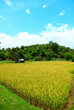 Thailand-Feldreis Lizenzfreies Stockbild