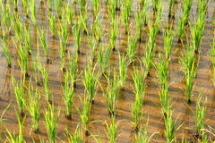 Thailand field rice Royalty Free Stock Image