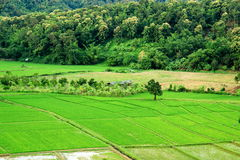 Thailand field rice Royalty Free Stock Images