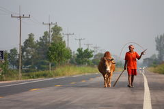 Thailand fighting bull. Walking on the road Stock Image