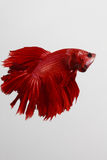 Thailand fighting fish pure red long tail Stock Photos