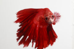 Thailand fighting fish pure red long tail Royalty Free Stock Image