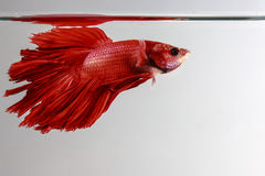 Thailand fighting fish pure red long tail Stock Image
