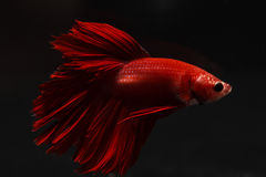 Thailand fighting fish pure red long tail Royalty Free Stock Photo