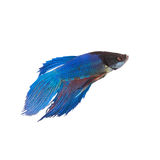 Thailand fighting fish Stock Images