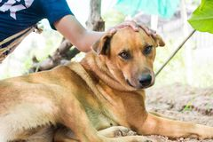 Thailand folk dog, this one is brown. Healthy and friendly to people close, but if strangers come, he was barking to intimidate immediately Stock Photo