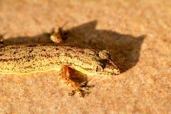 Thailand gecko Fotografering för Bildbyråer