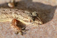 Thailand Gecko Royalty Free Stock Images