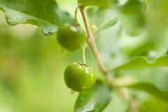 Thailand-Grün Acerolakirsche Stockbild