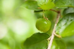 Thailand green Acerola cherry. Stock Photos