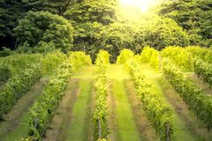 Thailand vineyards on the mountains in summer. royalty free stock photography