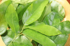 Thailand herbs. Tiliacora triandra  is  herb in Thailand Royalty Free Stock Image