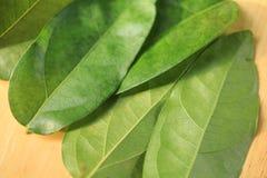 Thailand herbs. Tiliacora triandra  is  herb in Thailand Stock Image