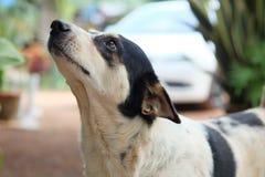 Thailand hund som ser ett hopp arkivfoton