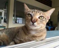 Thailand katt Fotografering för Bildbyråer