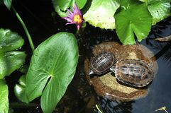 Thailand, Koh het Eiland van samui: Chinese schildpad Stock Foto