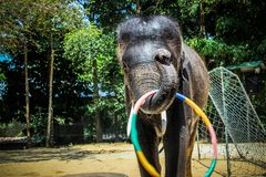 THAILAND, KOH SAMUI, 4 APRIL 2013 Elephant show in Stock Photos