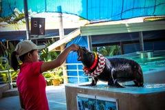 THAILAND KOH SAMUI 8 APRIL 2013 Sea ��lion playing Stock Images