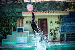 THAILAND KOH SAMUI 8 APRIL 2013 Sea lion playing Stock Photography
