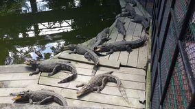 Thailand-Krokodil Lizenzfreies Stockbild