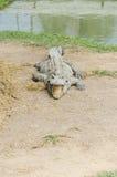 Thailand-Krokodil, das den Mund öffnet Lizenzfreies Stockfoto