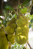 THAILAND LAMPANG JACKFRUIT PLANTATIONS Stock Images