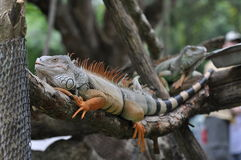 Thailand-Leguan Stockfoto