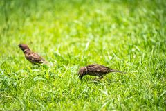 Thailand little brown sparrow bird in the graden and park royalty free stock photography