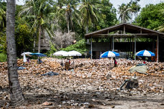 Thailand local workers peeling many coconuts from the farm on Island Koh Phangan piles of nuts with a spearhead knife Royalty Free Stock Image