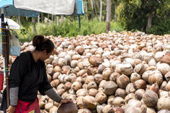 Thailand local workers peeling many coconuts from the farm on Island Koh Phangan piles of nuts with a spearhead knife Royalty Free Stock Photo