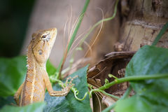 Thailand. Look Wild lizard. Photo Stock Images