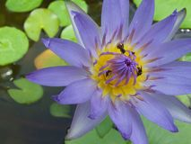 Thailand Lotus Royalty-vrije Stock Foto