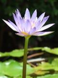 Thailand Lotus Lizenzfreies Stockfoto