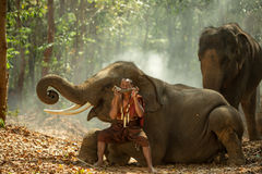 Thailand the mahout are playing the dryer with elephants of Thai Royalty Free Stock Photos