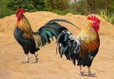 Thailand male chicken rooster  in farm Royalty Free Stock Image