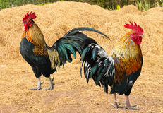Thailand male chicken rooster isolated Royalty Free Stock Image