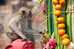 Thailand Monkey Party ( Thailand Monkey Buffet ). Royalty Free Stock Photos