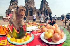 Thailand Monkey Party ( Thailand Monkey Buffet ). Stock Photography