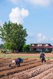 Thailand, 26 November 2016:: de tuinman plant plantaardige I Stock Afbeeldingen