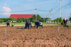 Thailand, 26 November 2016:: de tuinman plant plantaardige I Stock Fotografie