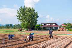 Thailand, 26 November 2016:: de tuinman plant plantaardige I Royalty-vrije Stock Afbeeldingen