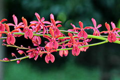 Thailand-Orchidee lizenzfreies stockbild