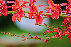 Thailand-Orchidee Lizenzfreie Stockfotografie