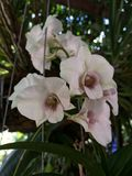 Thailand-Orchideen Stockbild