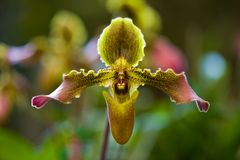 Thailand Orchids in a wild stock photography