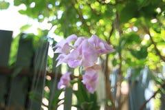 Thailand orkidé Royaltyfria Bilder