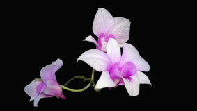 Thailand orkidéblomma som isoleras på svart bakgrund Royaltyfri Foto