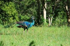 Thailand peacock Stock Photo