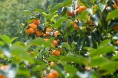 Thailand persimmon tree. Thailand persimmon tree ( kaki ) with fruits royalty free stock image